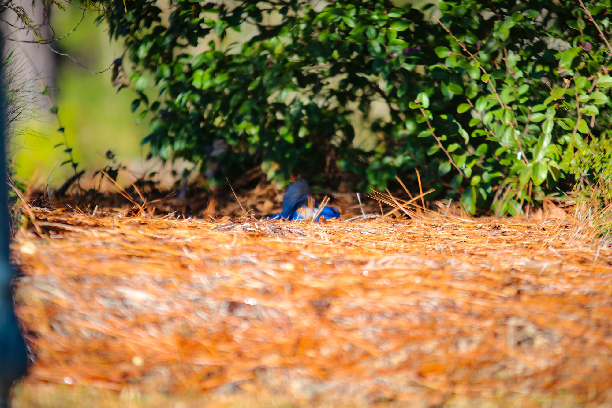 Eastern Bluebird in the Pine Straw