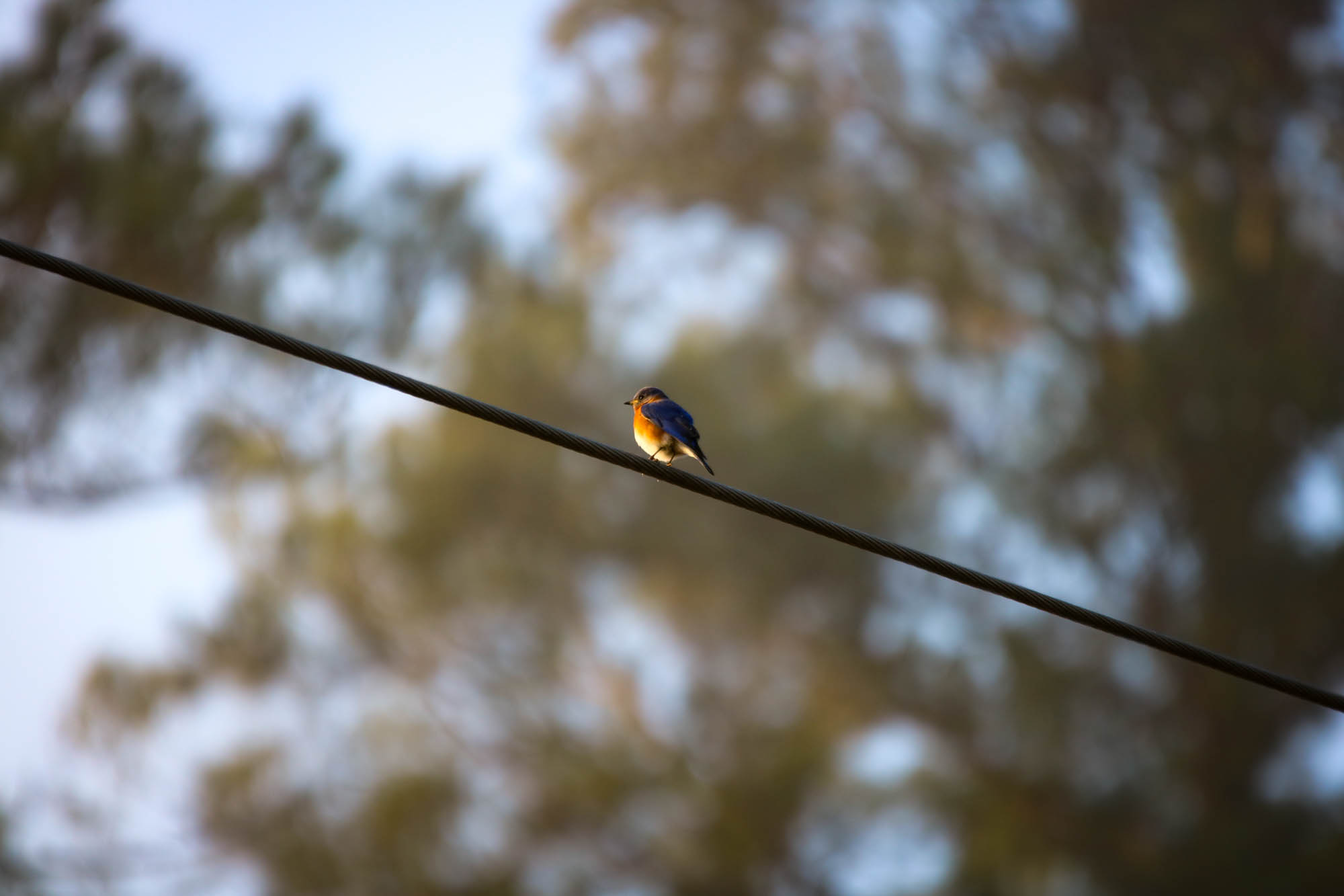 Bluebird perched on an electrical wire just above a nesting spot.