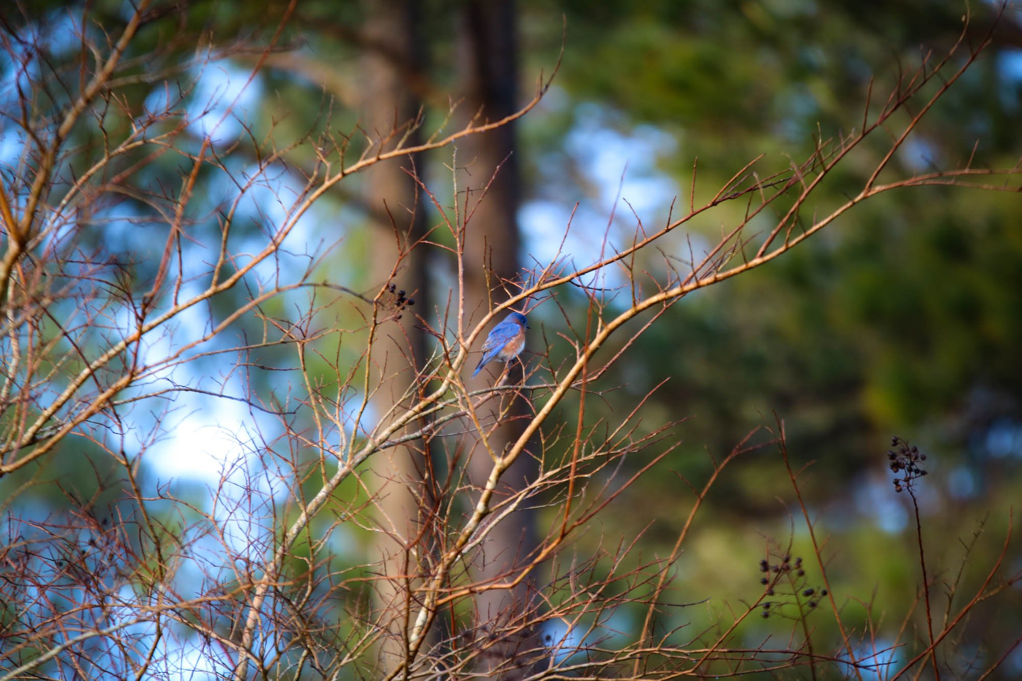 This bluebird is enjoying an elevated perch on an ornamental tree.